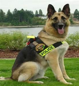 German Shepherd dogs and puppies: German Shepherd police dog
