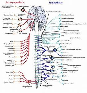 Autonomic Nervous System  Nervous System Of Animals