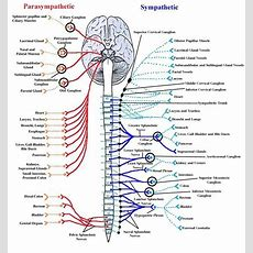 Somatic Nervous System  Nervous System Diagram For Kids  Pinterest  Coloring, Heart Rate And