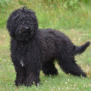 Barbet Breed Guide - Learn about the Barbet.