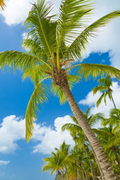 tropical palm tree  stock photo public domain pictures