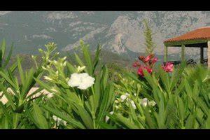 video oleander zurueckschneiden  machen sies richtig