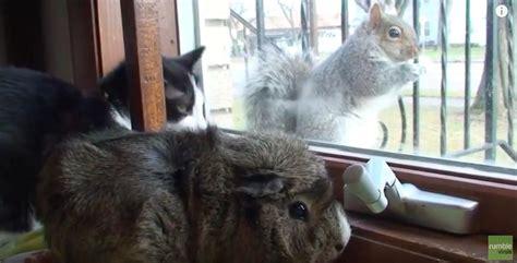 cat  guinea pig  friends   add  squirrel