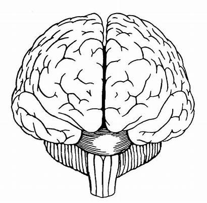 Brain Drawing Diagram Drawings Painting