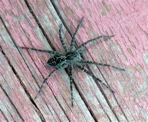 Boat Dock Spiders by Lake Pictures