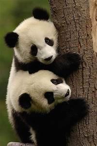 Cute panda bear cubs! | Adorable and Cute | Pinterest ...