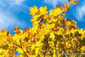 Kostenlose Bilder Herbst : gelbe ahornbl tter im herbst ~ Yasmunasinghe.com Haus und Dekorationen