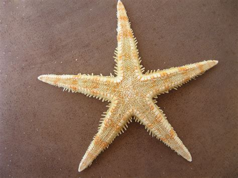 etoile de mer deco file sea bg 01 jpg wikimedia commons