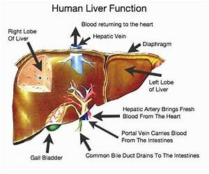 Liver Diagram And Function
