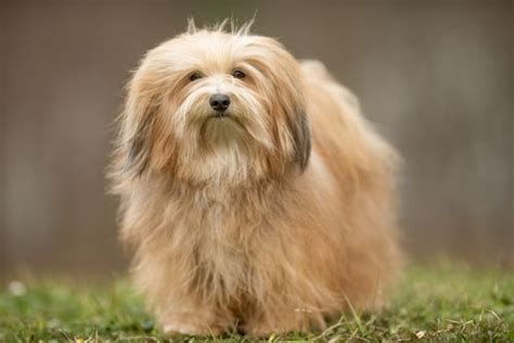 do bichon havanese shed 35 most beautiful breeds in the world