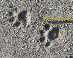 cat tracks and cat tracks sandhill nature education
