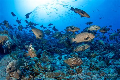 groupers french polynesia epinephelus aggregation spawning pass sharks abound fakarava huge south grouper marbled