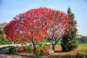 Baum Mit Roten Blättern : riesiger baum mit roten bl ttern b ume im herbst stockfoto traza 62811057 ~ Eleganceandgraceweddings.com Haus und Dekorationen