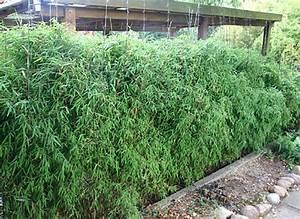 Wie Schnell Wächst Bambus : bambus pflanzenshop bambushecken ohne ausl ufer sichtschutz mit bambus kaufen ~ Frokenaadalensverden.com Haus und Dekorationen
