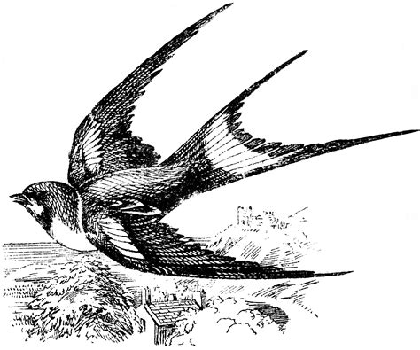 swallow clipart