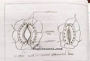 Open  U0026 Closed Stomatal Pore Diagram