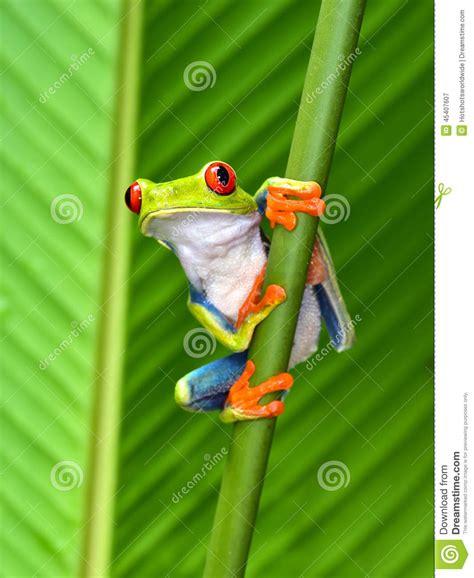 Puerto Rico Hd Wallpaper Red Eyed Tree Frog Cahuita Puerto Viejo Costa Rica Stock Image Image 45407607