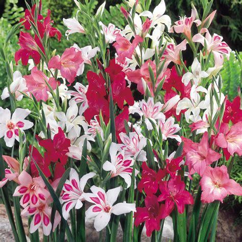 gladioli corms nanus mix dobies