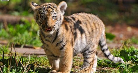Tiger Animal Wallpaper - baby tiger wallpapers baby animals