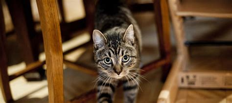 How To Stop Cats From Spraying  Cease Cat Spraying