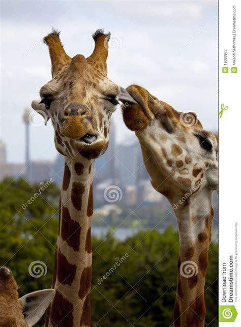 giraffe kiss stock image image  mammal clean nature