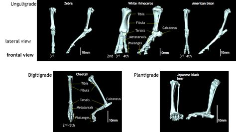 plantigrade digitigrade unguligrade perissodactyla artiodactyla locomotion mammals 3d walking zebra feet fig animals cheetah running mammal scans rhinoceros bison comparative