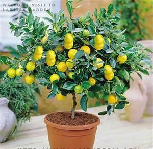 Dwarf Bonsai Lemon Tree Seeds