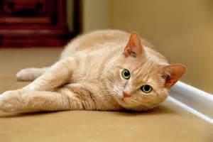 tabby cat orange feline portrait of an orange cat print by strycula