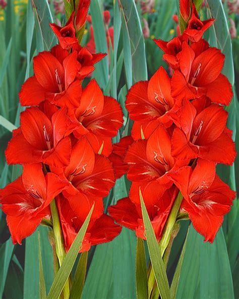 gladiolus for sale buy for 163 2 99