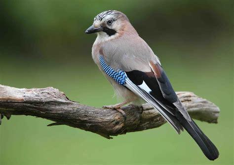 eurasian jay birds world