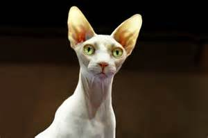 sphynx cat file sphynx chickencat edit jpg