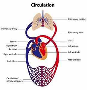 diagram of the circulatory system for 5th grade Archives ...
