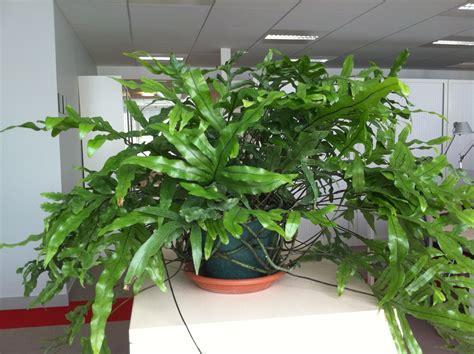 fern house plants how to grow kangaroo ferns microsorum houseplant 411 how to identify and care for houseplants