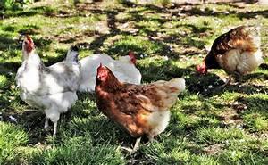 Poule Pondeuse Race : elever des poules pondeuses au jardin tout ce qu 39 il faut ~ Dallasstarsshop.com Idées de Décoration