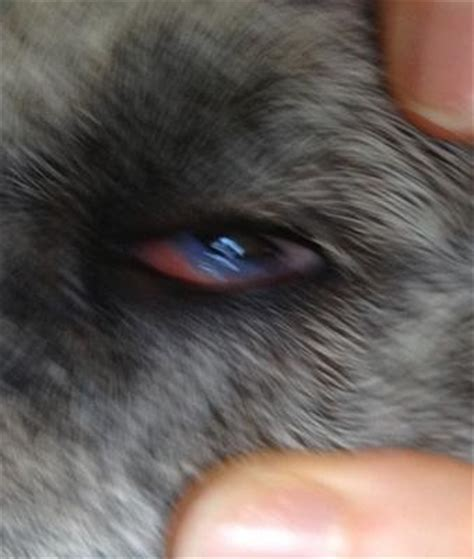 unknown chronic painful dog eye condition   eye