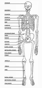 View Full Size More Human Skeleton Blank Diagram Pic 20