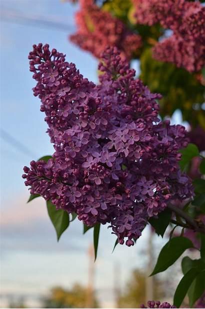Lilac Flowers Violet Desktop Backgrounds Wallpapers Mobile