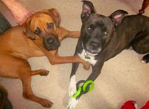 Boxer/lab and pit bull/German shepherd mix #bestfriends ...