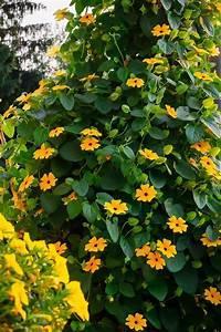 Kletterpflanzen Für Balkon : kletterpflanzen gr ner und bl hender sichtschutz gawina ~ Lizthompson.info Haus und Dekorationen