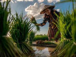 Rice Farmer Image, Thailand - National Geographic Photo of ...