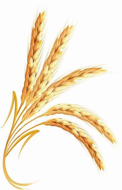 Wheat Clipart Transparent Grain Trigo Grains Plant