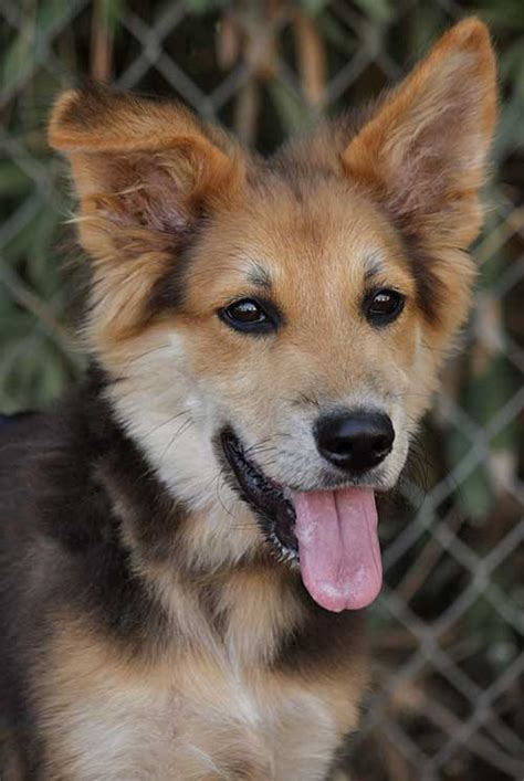collie shepherd mix german border dog dogs puppies breeds lab puppy shollie rescue romeo breed shepherds howtotrainthedog von smartest australian