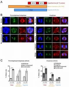 Stress Regimens Promote Mitotic Defects   A  Diagram
