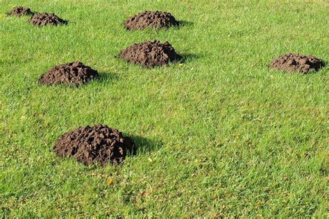 come allontanare le talpe dal giardino talpe in giardino come allontanarle il paese verde
