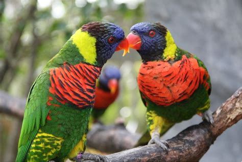 Rainbow Lorikeet Parrot New Wallpapers Hd 2012