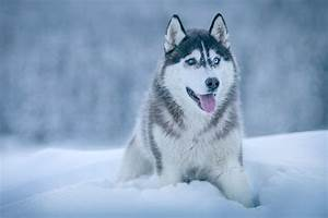 Siberian-Husky Pictures | Download Free Images on Unsplash