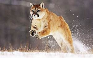 Mountain Lion Wallpapers | HD Wallpapers | ID #8616