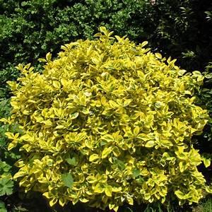 Arbuste À Feuillage Persistant : fusain du japon dor pot de 7 5 litres hauteur 40 60cm ~ Melissatoandfro.com Idées de Décoration