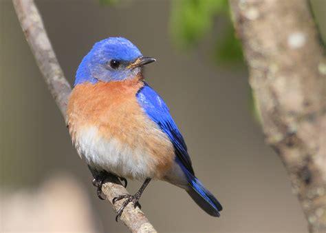 blue birds eastern bluebird wallpapers9