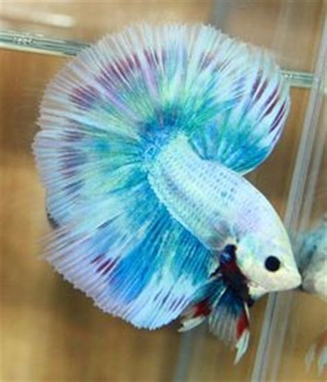betta beauties  pinterest betta siamese fighting fish